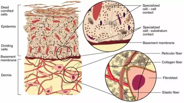 The Composition Of Extracellular Matrix Biobool News Biobool